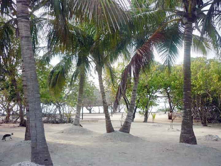 Palmeras en Isla San Bernardo Colombia